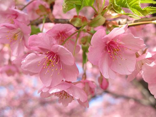 栃木県のお花見スポット